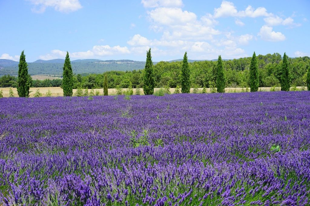 lavender field, cypress, avenue-1595580.jpg